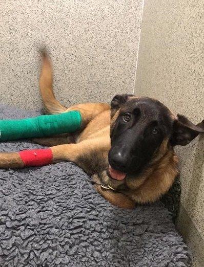 'Goose' the dog with coloured bandage on broken leg