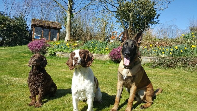 'Goose' the Malinois dog with his two spaniel brothers