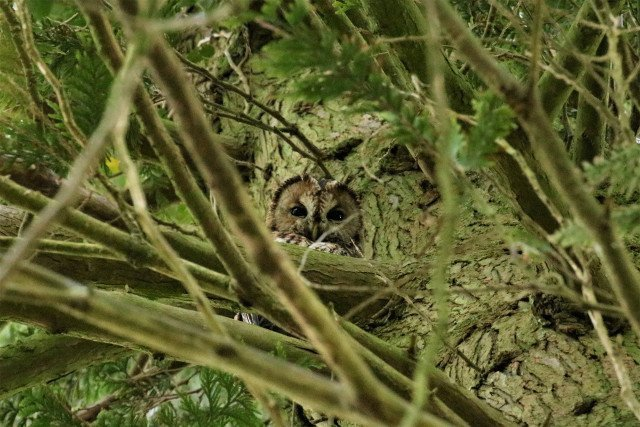 Tawny Owl on tree branch