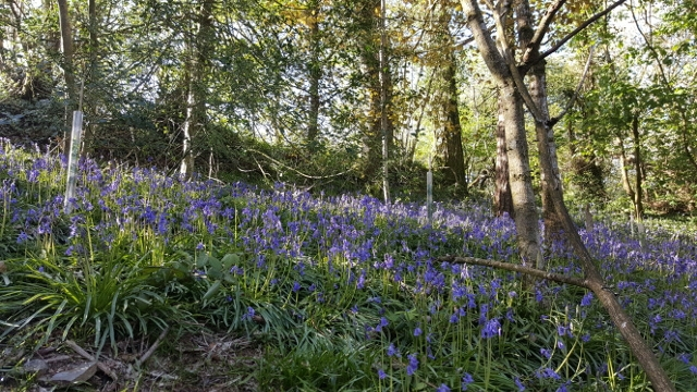 Bluebells in flower