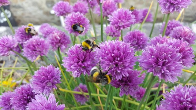Chive flowers with bumble bees
