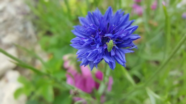 insect on cornflower