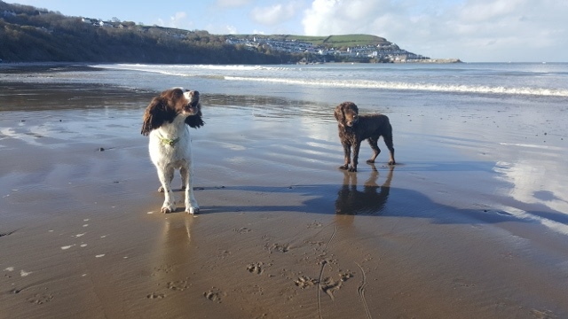 Spaniels on Cei Bach beach