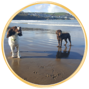 Spaniels at Cei Bach Beach