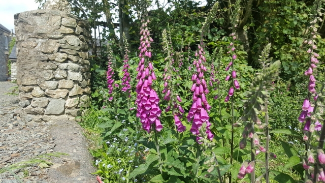 Flowering Foxgloves