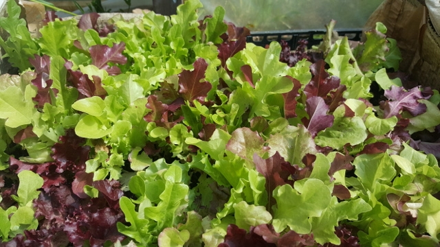 Row of lettuce leaves