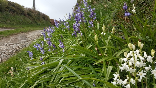 flowering bluebells in a lane verge